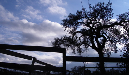 The old corral and an Oak at Stanford