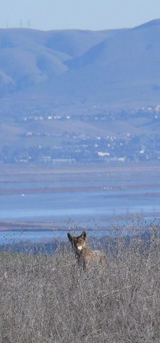 Mr. or Ms. Coyote gives me a look from a hillside in Arastradeo Park (SF Bay in background)