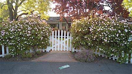 Neighbor's gate and primroses