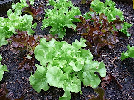 Lettuce in dotcom garden