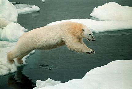 Polar Bear @Greenpeace/Beltrá, Daniel