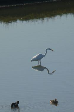 Egret and ducks at Baylands