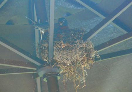 Robin in her nest under umbrella patio
