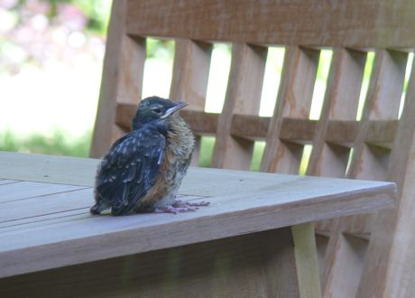 The last of our baby robins