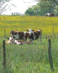 Les vaches voisines - our neighbor cows