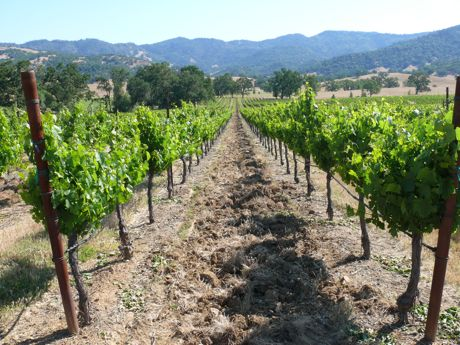Vineyards on Robin's ranch, Potter Valley