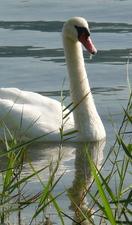 A swan patrols Lac d'Annecy's Rive Gauche