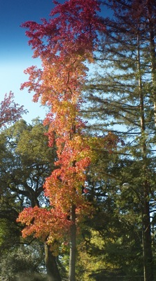 One of our liquidambar trees in full fall glory