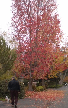 Is it a Liquidambar? Or, a maple...